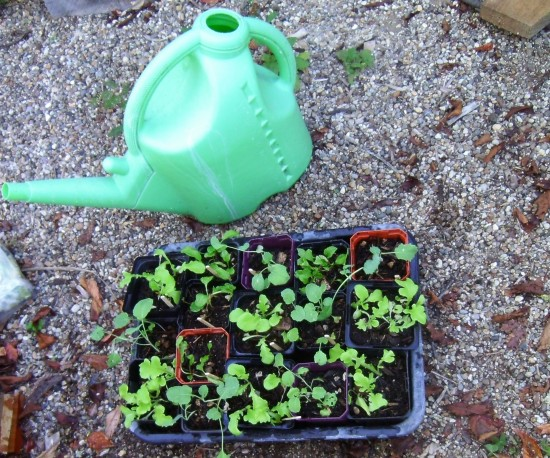 broccoli, lettuce and silverbeet seedlings grown at Grandview Community Garden