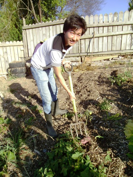 harvesting kumara in the Burmese Community Garden at Grandview