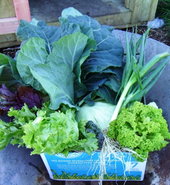 cabbage, broccoli lettuce and spring onoin