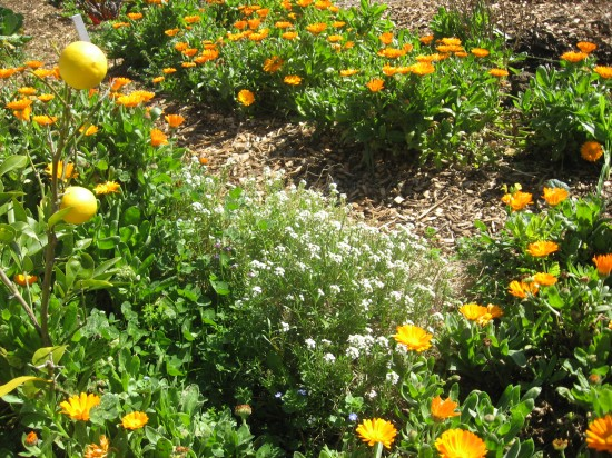 alyssum and calendula growing around a lemon tree