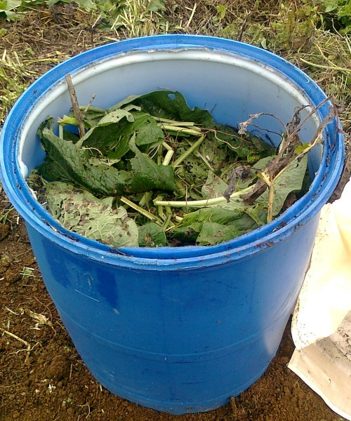 barrel of comfrey leaves and roots at Grandview Community Garden