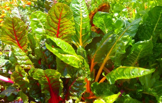 red and yellow silverbeet growing at Grandview Community Garden