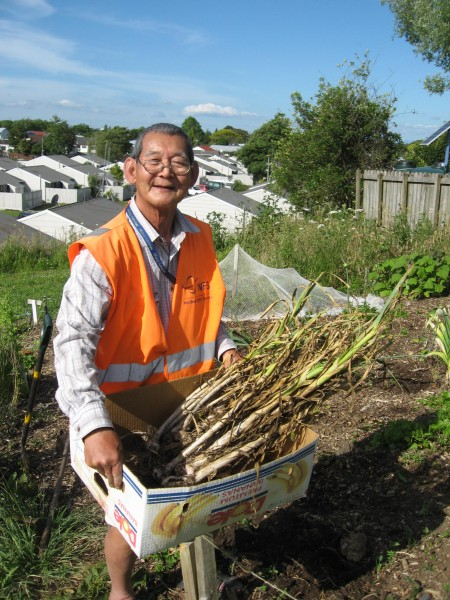 Tun Hla harvests garlic in the Burmese Community Garden